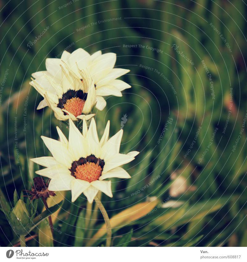 : Natur grün weiß Pflanze Blume Wärme Wiese Gras Blüte