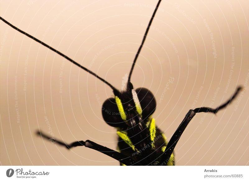 Schmetterling Fühler Insekt Makroaufnahme Auge