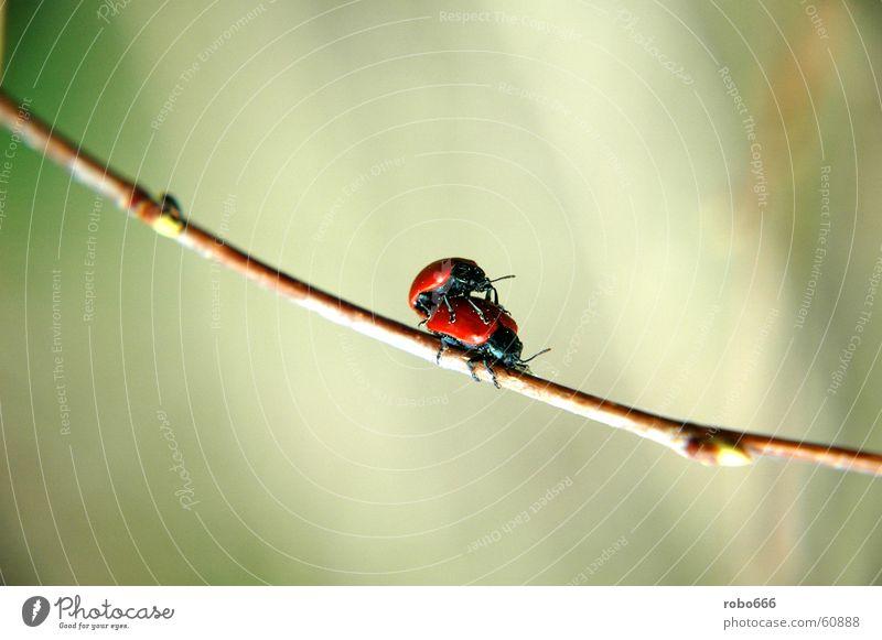 Liebesspiel im Frühling Insekt Halm Käfer Marienkäfer Frühlingsgefühle