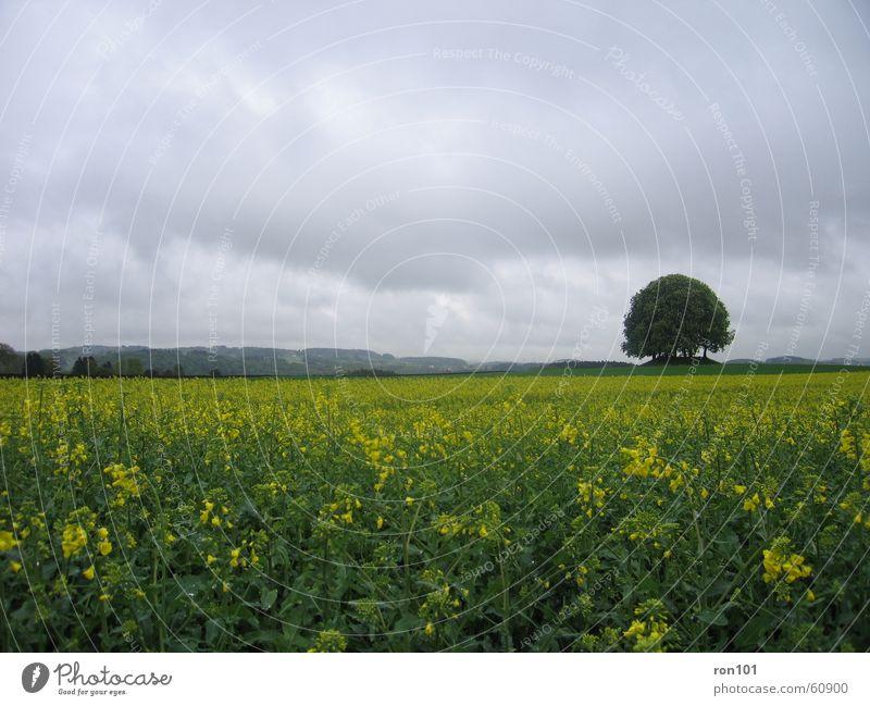 mein 100stes Baum Pflanze Blume Blatt Wolken Landschaft gelb grau Regen Feld Hügel Raps Niederschlag Rapsfeld