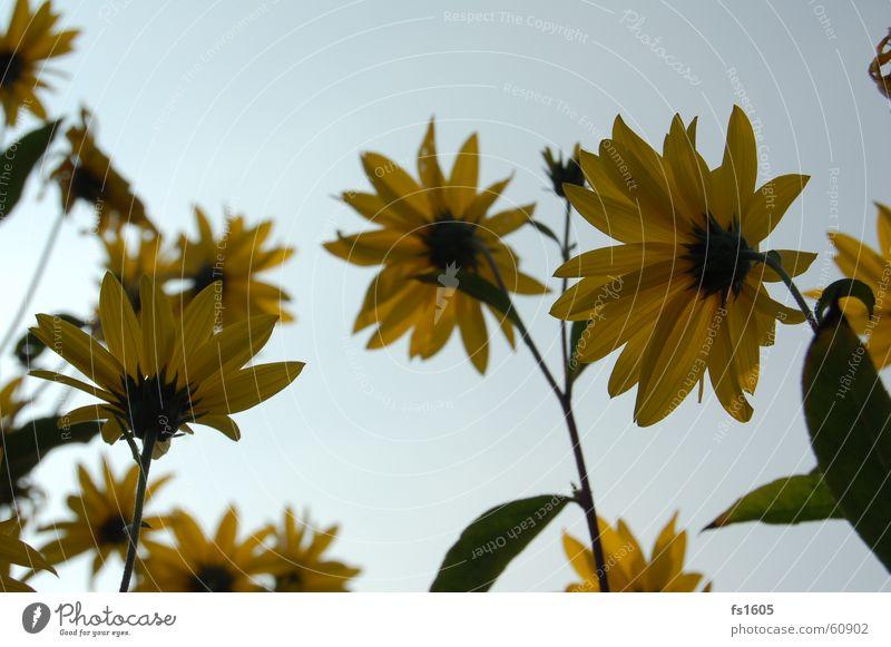 Blumenhimmel Himmel Sonne Blume blau Sommer gelb