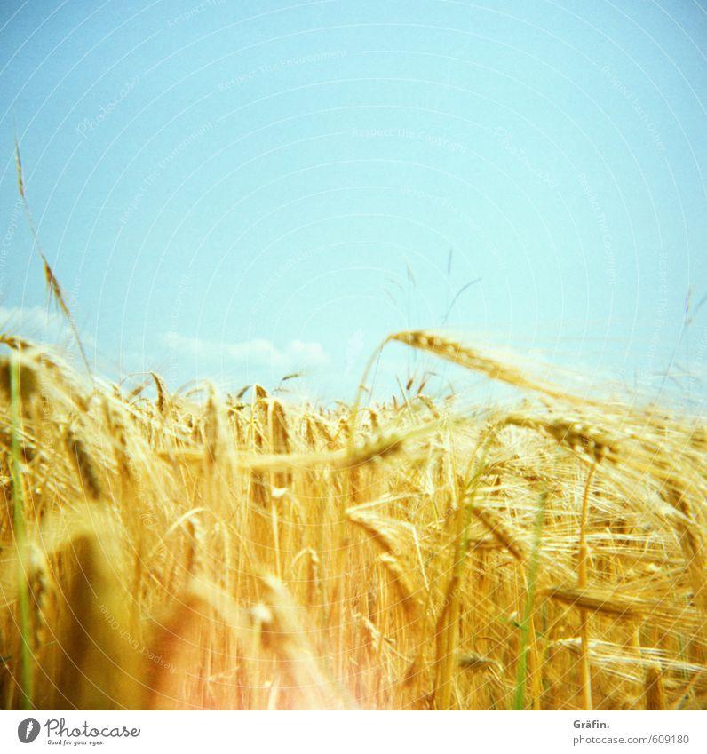 Der Fänger im Roggen Sommer Sonne Umwelt Natur Pflanze Schönes Wetter Nutzpflanze Getreidefeld Feld Wachstum blau gelb gold nachhaltig Farbfoto Außenaufnahme