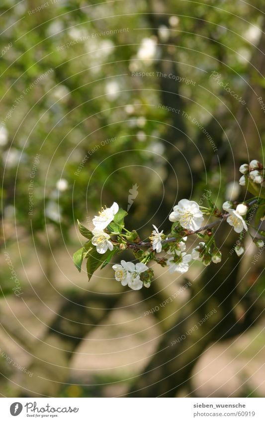 Es blüht! Natur weiß Baum grün Frühling Wachstum Blühend Zweig Obstbaum Bildausschnitt Apfelbaum sprießen Reifezeit Zyklus Apfelblüte