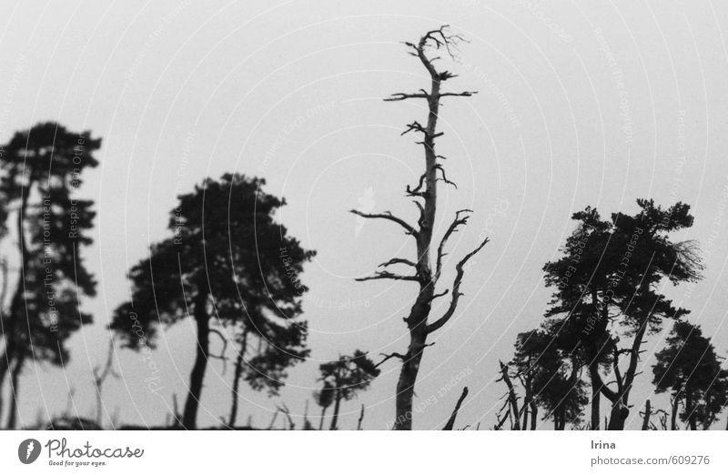 Venntasmagoria wandern Natur Landschaft Pflanze Urelemente Wolkenloser Himmel Baum Totholz Baumkrone Baumstamm außergewöhnlich trist grau schwarz Stimmung