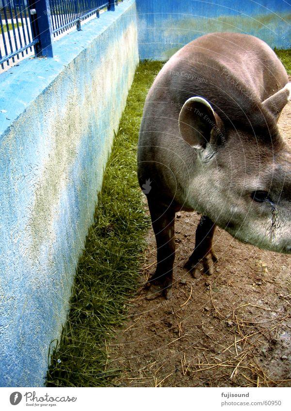 tapir blau Tier Traurigkeit dreckig Trauer süß Zoo niedlich Tapir