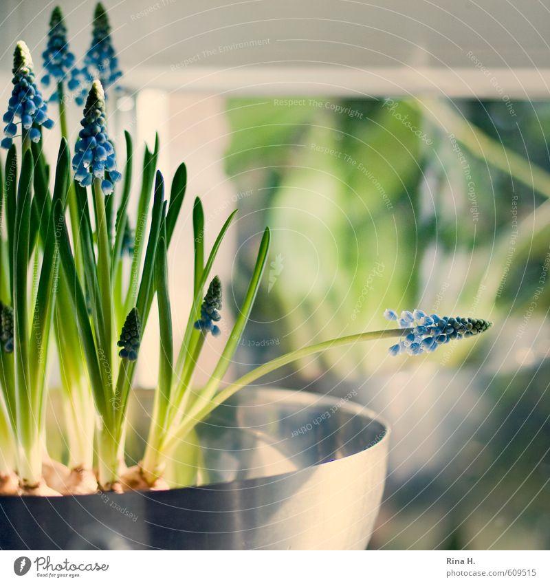 PerlHyazinthen Blume Blüte Topfpflanze Fenster Blühend frisch hell Lebensfreude Frühlingsgefühle Traubenhyazinthe Stillleben Fensterscheibe Farbfoto