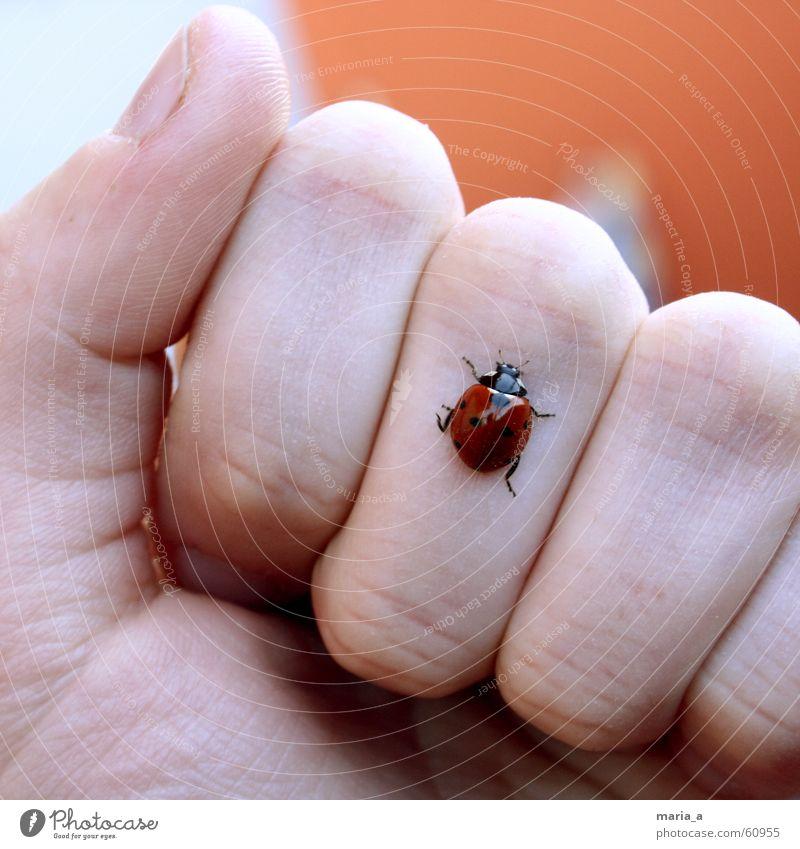 marienkäferchen! Marienkäfer Hand Finger Faust Sommer kalt Daumen Zeigefinger krabbeln Insekt rot schwarz glänzend Fingernagel Beine Käfer Gelenk Fühler