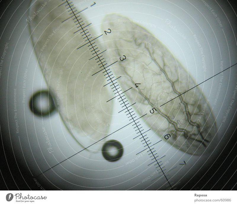 Drosophila-Eier Studium lernen Biologie forschen Skala untersuchen Mikroskop mikroskopisch Taufliege