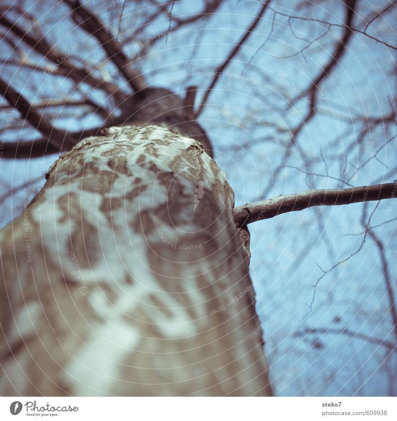 Zweigstelle Winter Baum alt kalt blau grau Buche Baumrinde Baumstamm Ast Baumkrone kahl Gedeckte Farben Außenaufnahme Nahaufnahme Textfreiraum oben
