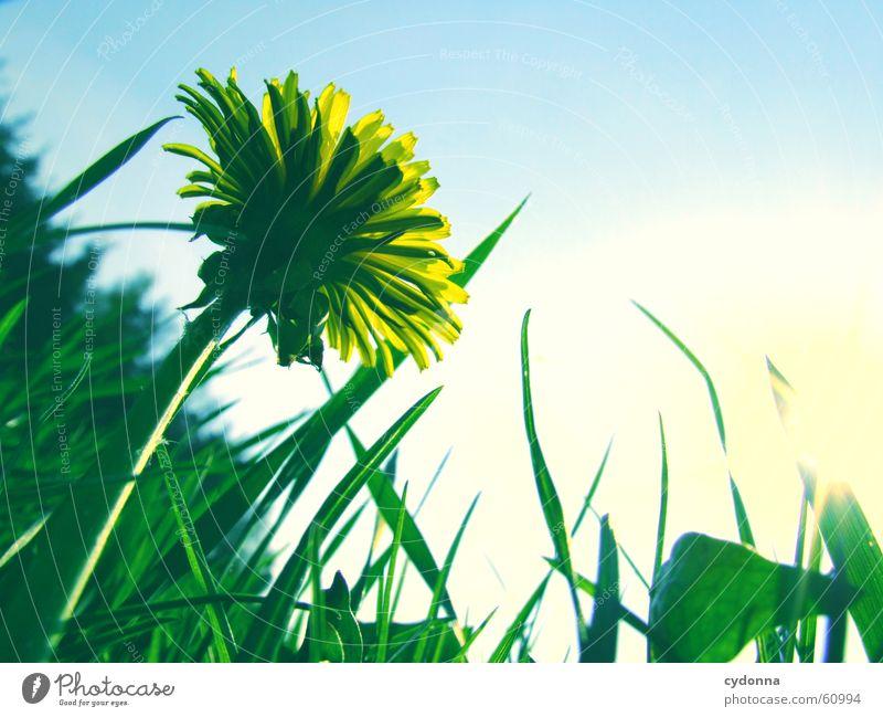 Löwenzahnwiese Frühling Wiese Blume Blüte gelb grün Unschärfe Liegewiese Gras Sonne Freude Detailaufnahme Himmel Perspektive Natur