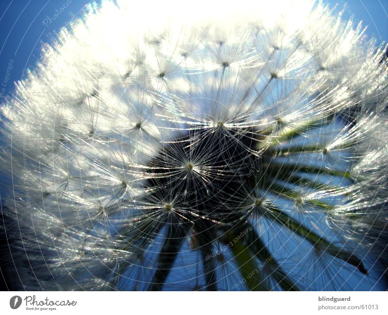 Zu spät für Peter Lustig Sommer Löwenzahn dunkel Gegenlicht träumen Fallschirm Unschärfe Denken genießen Dämmerung glänzend weiß zart Pflanze Tier Botanik
