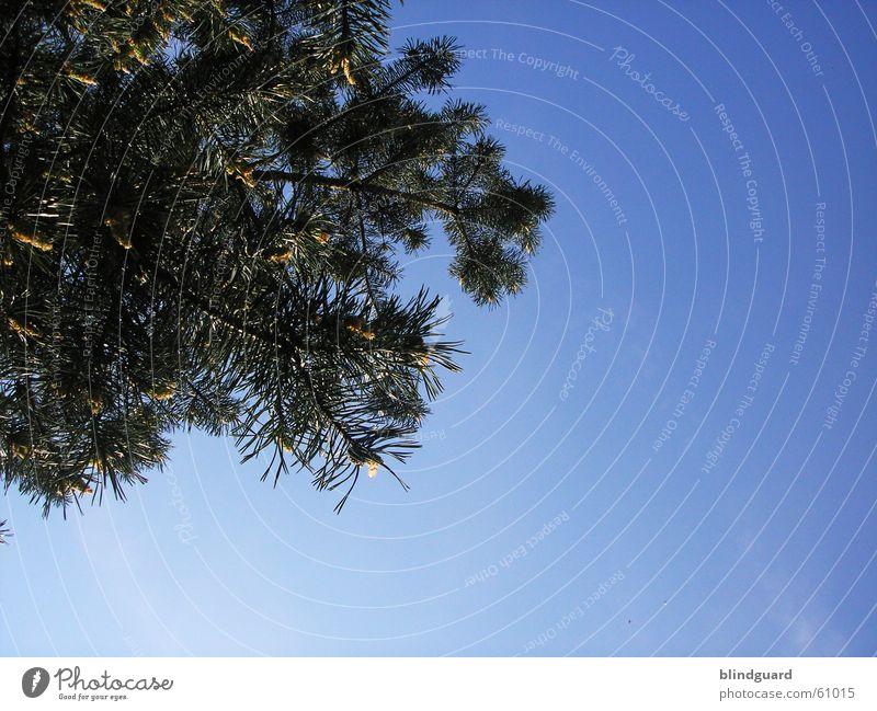 Oben Tanne Baum Fichte Himmel Nadelbaum tree sky heaven Immergrüne Pflanzen
