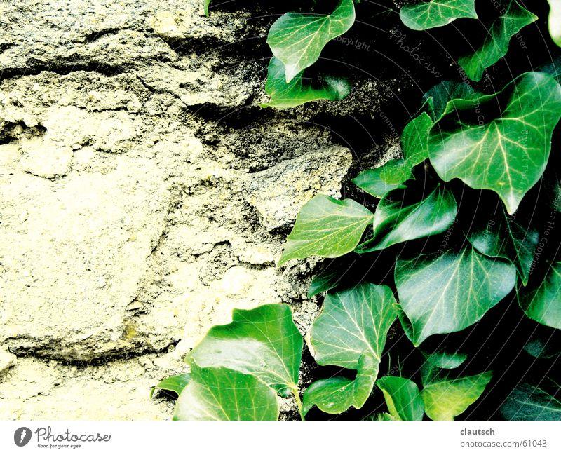 blattgeschmeichelt grün Pflanze Blatt Wand Stein Mauer Felsen weich Klettern trocken sanft hart Efeu Kletterpflanzen geschmeidig anbiedern