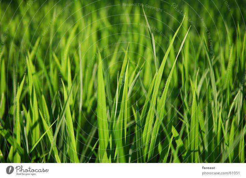 Gras Grün grün Pflanze Wiese Gras Feld Indonesien Bali Reisfeld
