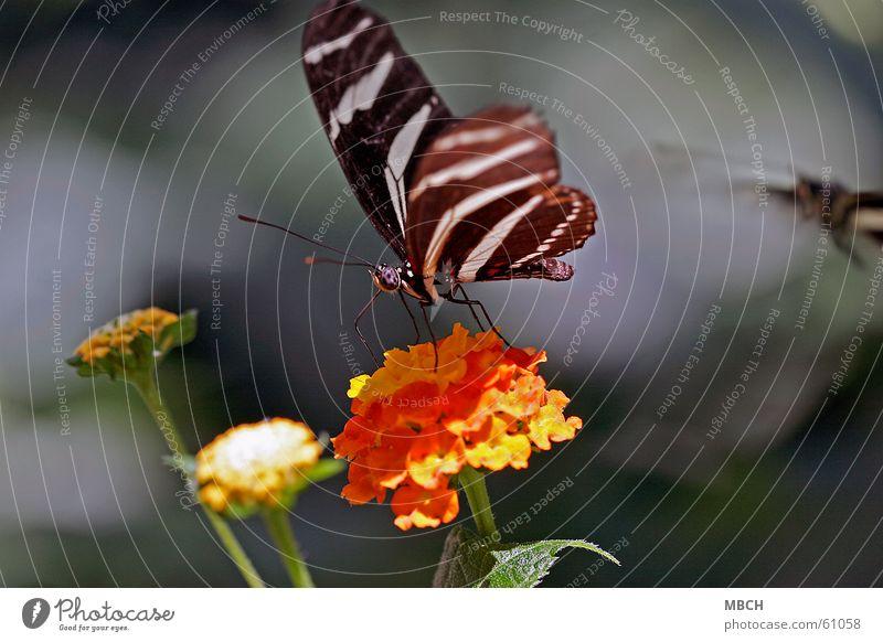 Nektar sammeln Schmetterling Tier Insekt Blume schwarz weiß grün Fühler Rüssel Blüte Muster Blatt Flügel orange Auge Beine Stengel facetenauge