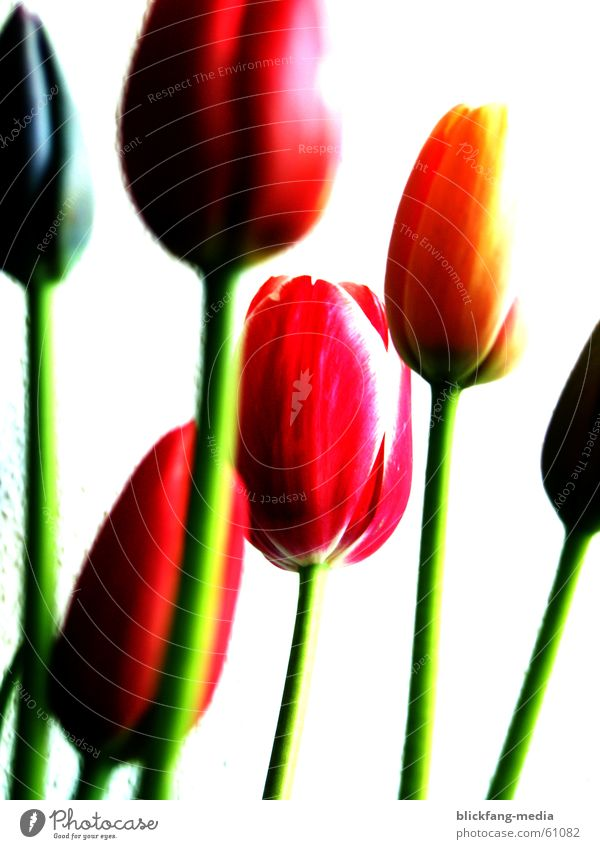 Tulpen Blüte Blume Sommer Physik mehrfarbig Leben Blumenstrauß Reifezeit Wachstum Freundlichkeit Außenaufnahme Überbelichtung Farbe Stengel Wärme hell