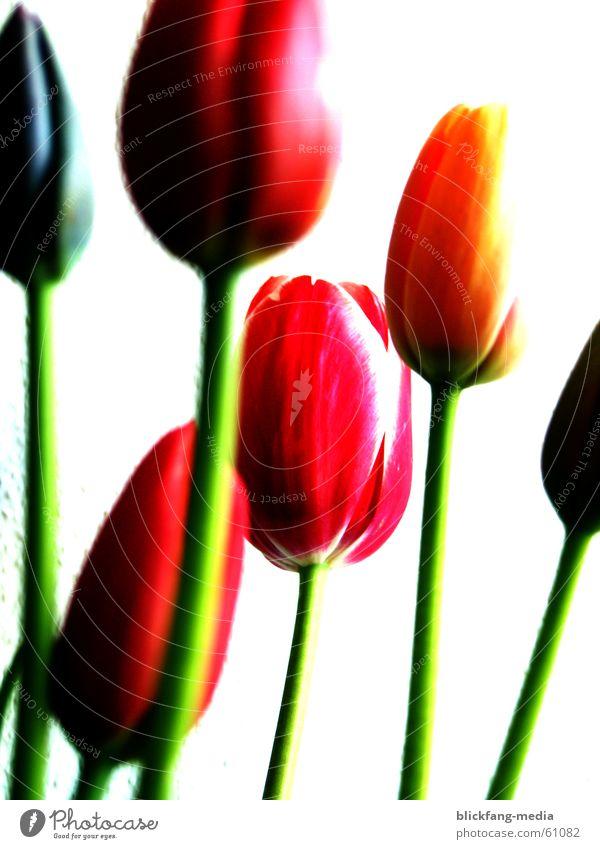 Tulpen schön Blume Sommer Freude Farbe Leben Blüte Freiheit Wärme hell Wachstum Physik Stengel Freundlichkeit Blumenstrauß Schönes Wetter