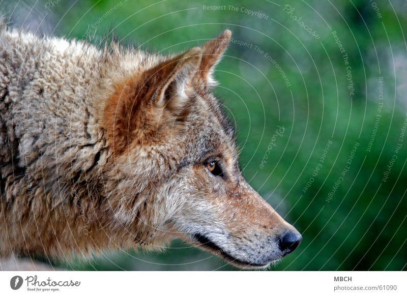 Neugier Wolf Schnauze hören Fell grün braun schwarz Schnurrhaar Tier Ohr Blick Auge Nase Hals Wildtier Haare & Frisuren