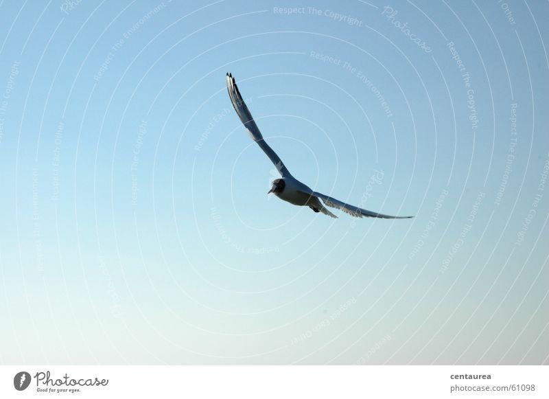 Lachmöwe Erholung Freiheit Meer Tier Luft Himmel Vogel fliegen Fernweh Einsamkeit Möwe gleiten Suche Aufgabe ... Außenaufnahme Menschenleer Textfreiraum links