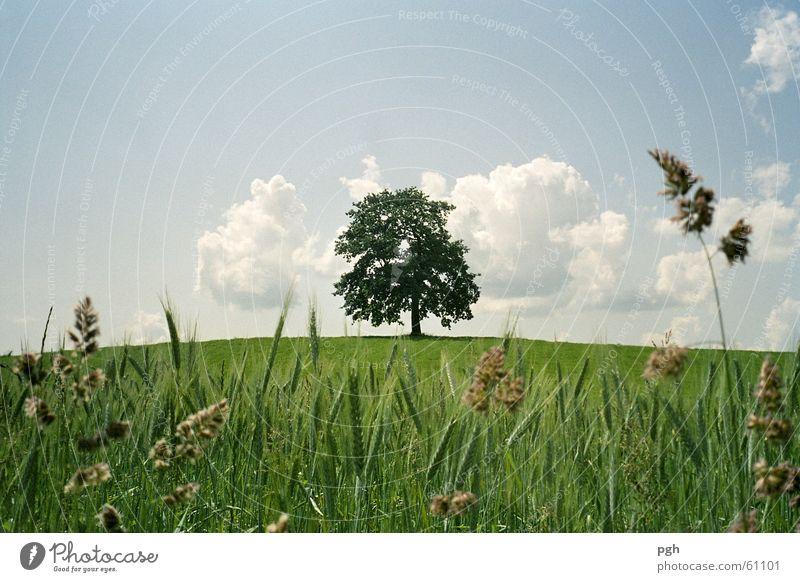 Alter schöner Baum in Münsing Himmel grün Wolken Hügel