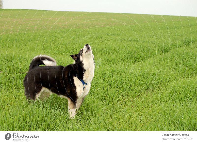 """Ein Hundeleben - Das Leben ist """"schööön"""" Freude Wiese Freiheit Hund Jagd weinen Schlittenhund Husky"""