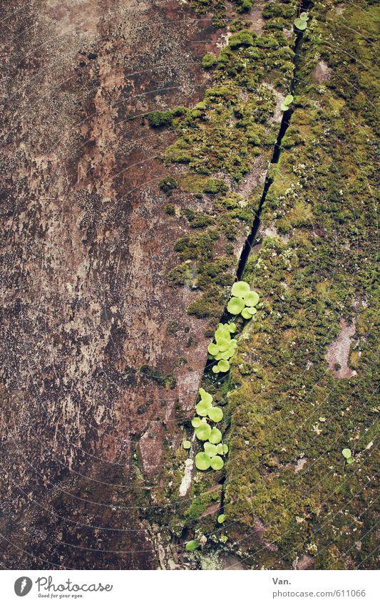 Nischendasein Natur Pflanze Moos Blatt Felsen Wachstum klein braun grün Spalte Furche Stein Farbfoto Gedeckte Farben Außenaufnahme Detailaufnahme Menschenleer