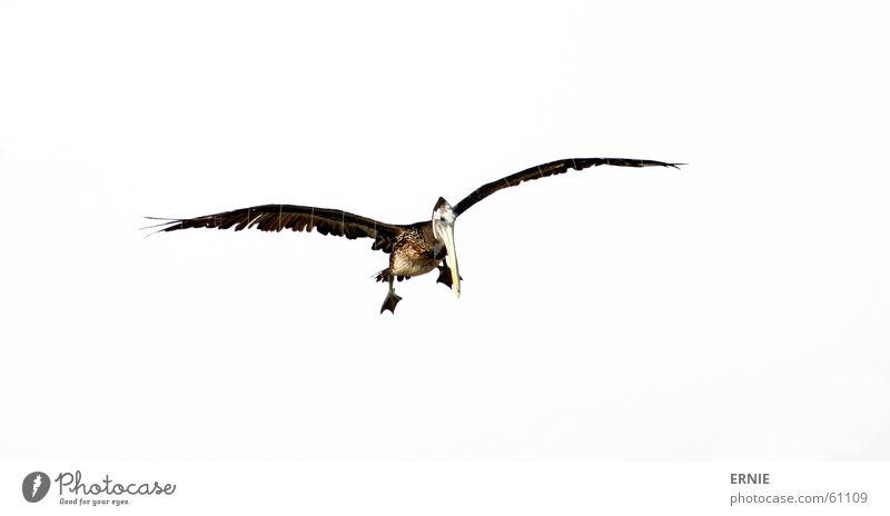 touch the sky Himmel weiß Meer Fuß Luft Vogel fliegen Geschwindigkeit Feder Flügel Kontrolle Norden Chile Pelikan defäkieren Arica
