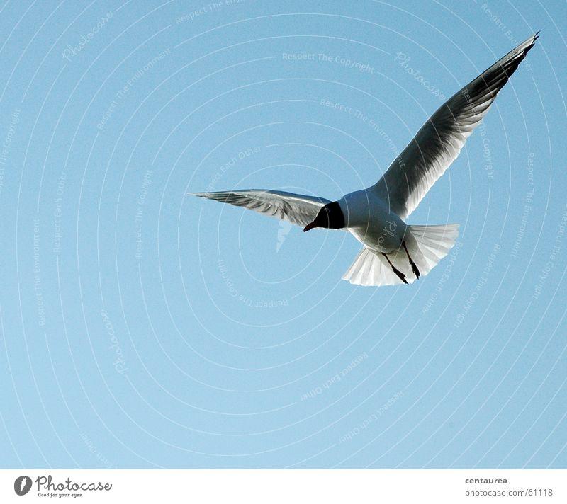 wachsamer Segelflieger Himmel Meer Tier Erholung Freiheit Vogel fliegen beobachten Wachsamkeit Möwe Nordsee füttern