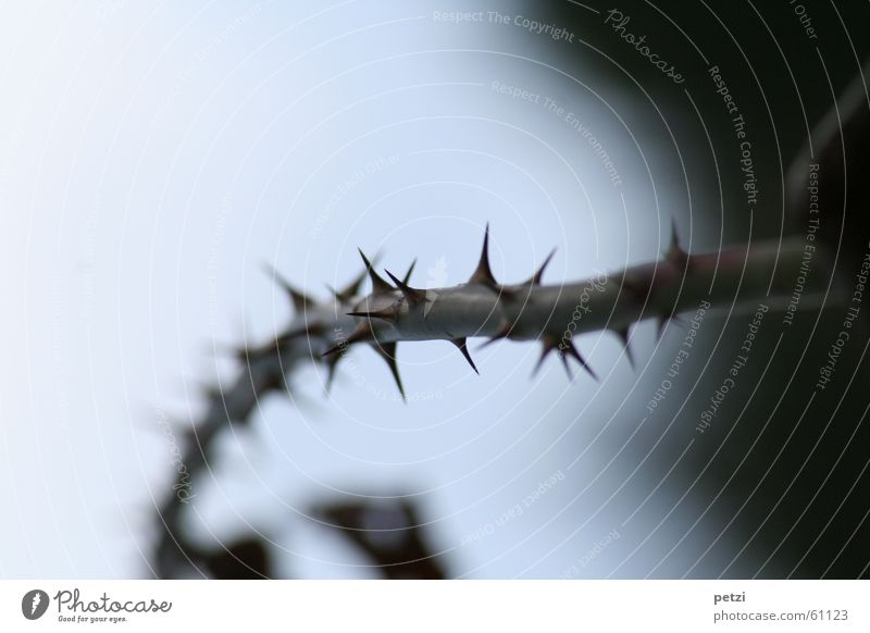 EIn dorniger Weg Pflanze dunkel hell mehrere Sträucher Spitze lang viele stachelig Stachel stechen Dorn gekrümmt verletzen Rosenstock
