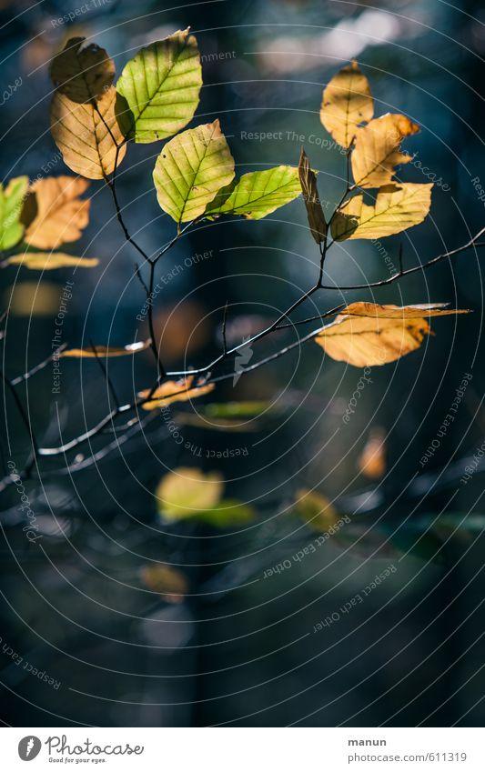 Hell-Dunkel-Kontrast Umwelt Natur Landschaft Herbst Blatt Wildpflanze herbstlich Herbstlaub Herbstfärbung Herbstbeginn Herbstwald natürlich blau braun gelb gold