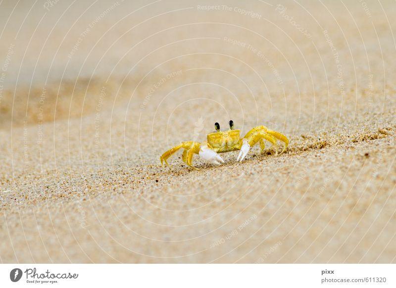 gelber flitzer Ferien & Urlaub & Reisen Sommer Meer Natur Tier Sand Wasser Küste Strand Brasilien Südamerika Kleinstadt Menschenleer Fährte Krabbe 1 krabbeln
