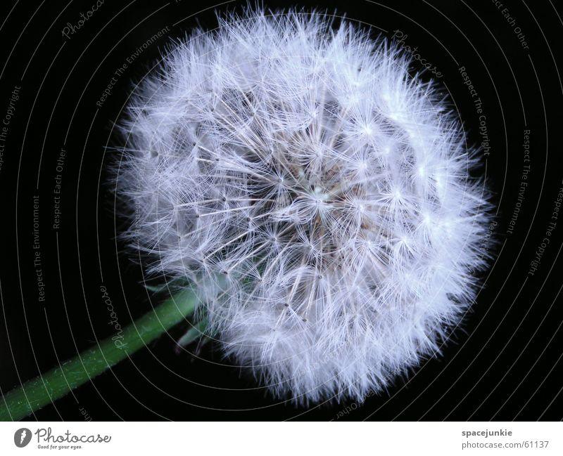 Pusteblume Löwenzahn Frühling Haarflieger weiß Makroaufnahme Natur Samen bauschig