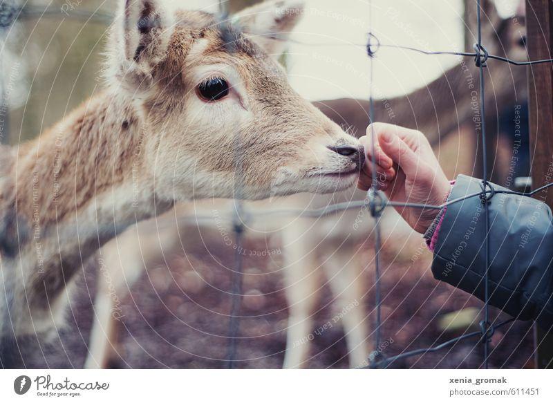 Rehkitz Freizeit & Hobby Spielen Ausflug Umwelt Natur Tier Wildtier Tiergesicht Zoo Streichelzoo 1 Tierjunges Rost Fressen füttern ästhetisch Tierliebe Rehauge