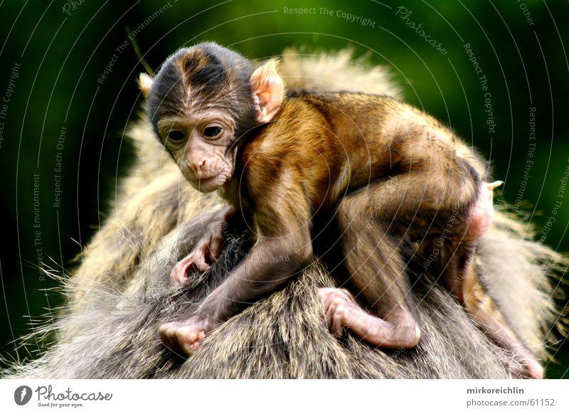 Halt dich fest! Affen Berberaffen festhalten Tier Sicherheit Geborgenheit bigway Angst Schutz Rücken Blick monkey simian anthropoid young mother father parents