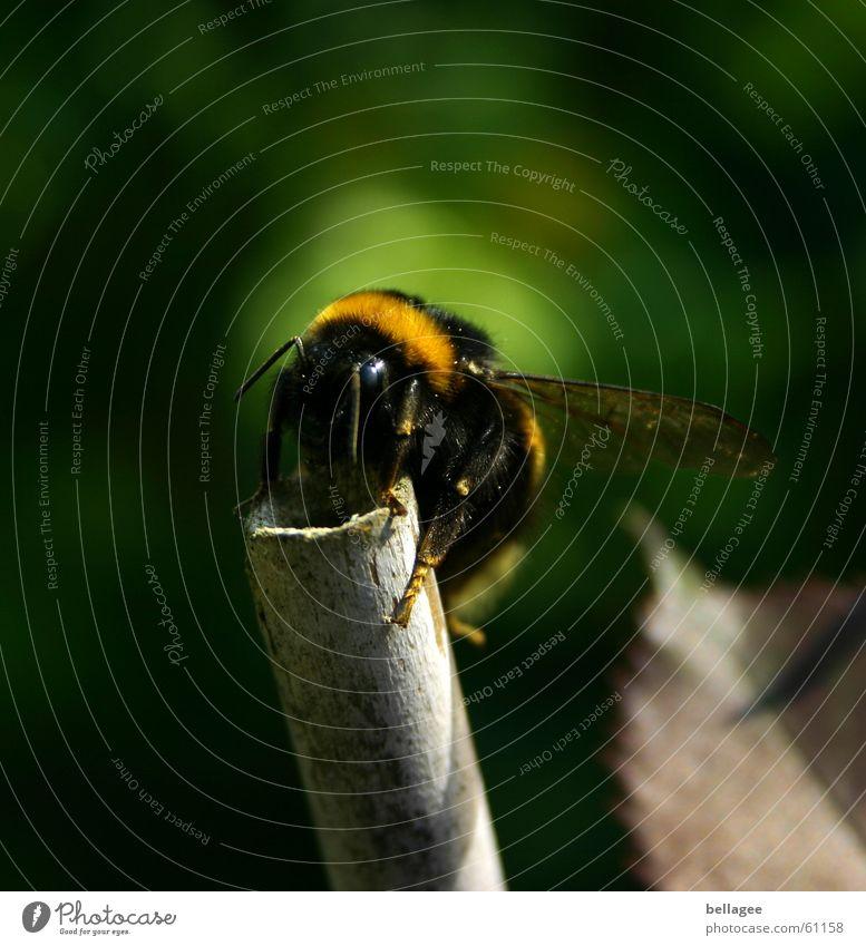 maja? willy? flipp? Natur grün schwarz gelb oben hoch Flügel Insekt festhalten Biene Fühler krabbeln Stab Hummel