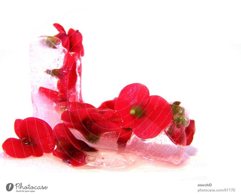Schneeweißchen und Rosenrot Pflanze rot Eis Thüringen Gemeiner Stechdorn