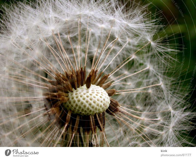 Verblühter Löwenzahn Blume verblüht Samen weiß Wind Natur grün