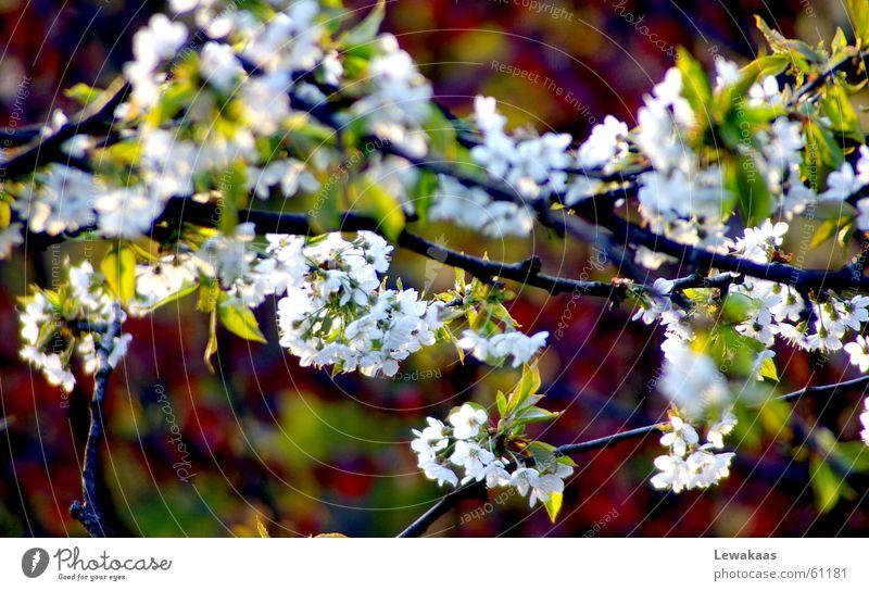 Kirschblüte Blume Licht Frühling Physik Sommer schön mehrfarbig weiß grün Baum Schatten Wärme Graffiti Farbe Natur Frucht