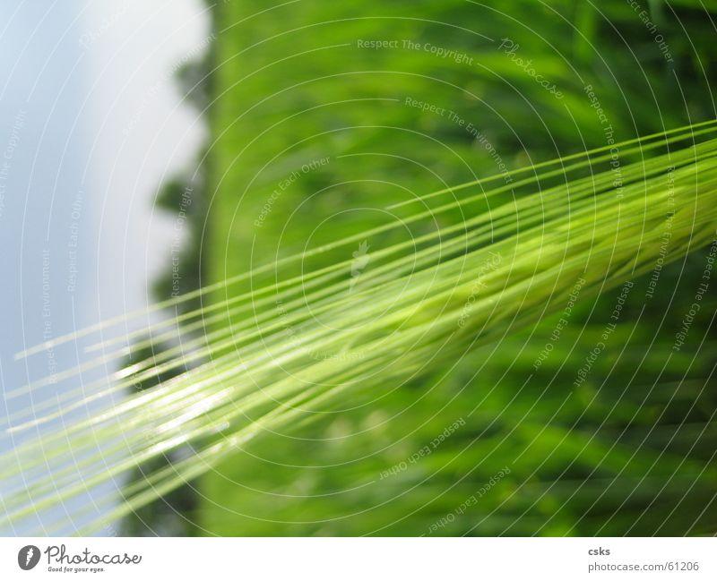 wenn ich groß bin, werd' ich ein brot grün Sommer Frühling Feld Blauer Himmel Weizen Getreide dunkelgrün hellgrün