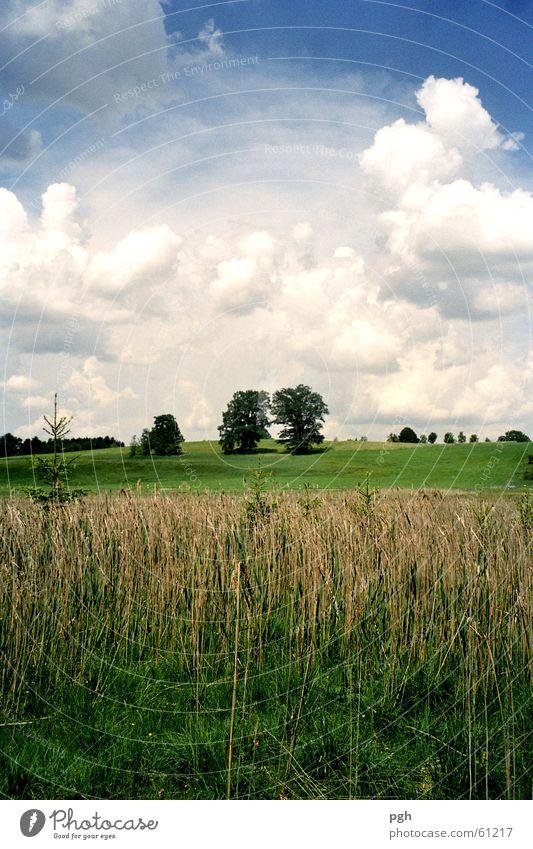 Ein Bäumepaar in Iffeldorf Himmel Wolken Wiese Gras Feld Schilfrohr