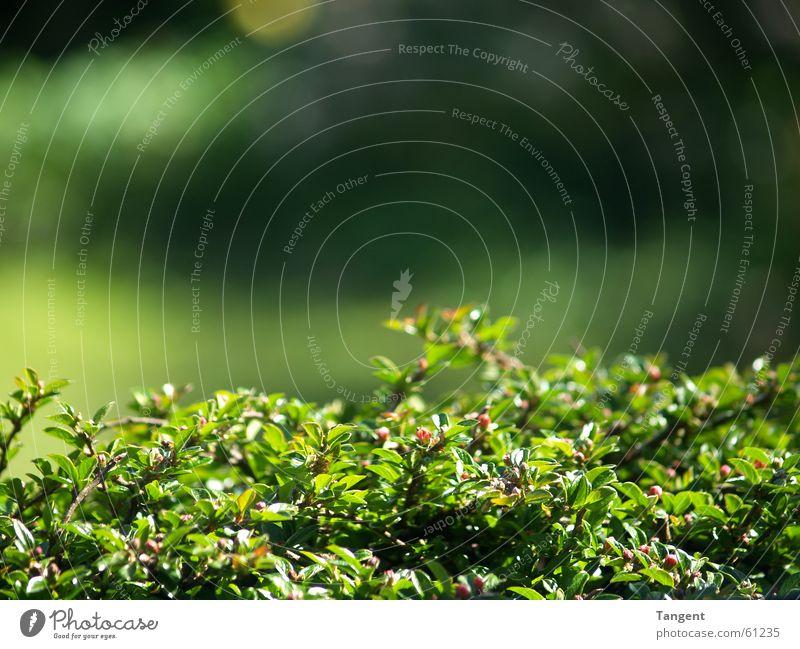 Einfach Grün Sonne grün Pflanze Sommer Frühling Garten Wärme Physik Hecke