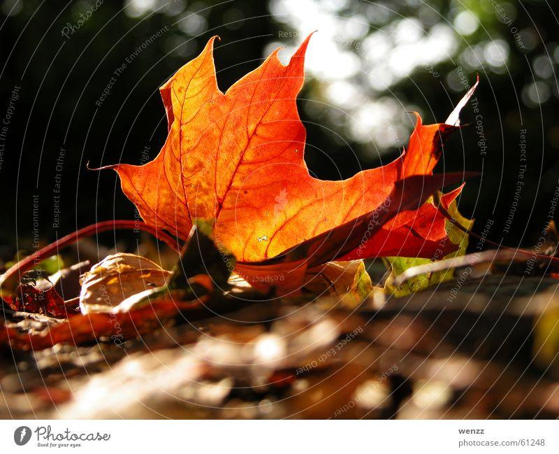 Glühendes Ahornblatt Baum Blatt Gefäße Herbst Sonne Ast