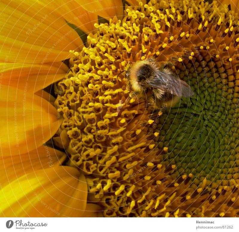 Staubsauger. Blume Sonnenblume Sommer gelb Blüte Pollen Hummel Biene Wespen Tier Insekt Biene Maja lecker weich Muster saugen Säugetier Detailaufnahme orange