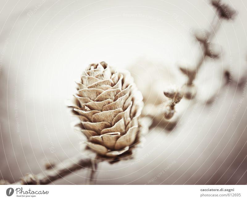 Ungewisse Zukunft Natur Pflanze Herbst Winter Schönes Wetter Zapfen einfach Freundlichkeit Glück hell klein natürlich positiv trocken braun grau Lebensfreude