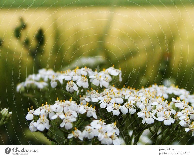 Letztes Jahr war auch schon Sommer Natur weiß grün Pflanze gelb Ferne Wiese Feld Getreide Kornfeld