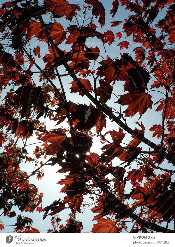 Wie ein Blatt im Wind... springen Pflanze Baum Frühling rot Wolken Licht Himmel Natur Trauer Verzweiflung Herbst Ast maple tree ahornbaum sheet sheets branch