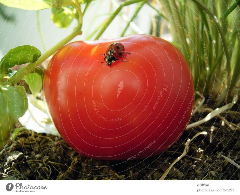 Bergsteiger grün Sommer Sonne rot gelb Wiese Gesundheit Garten Zufriedenheit rund Punkt Gemüse Insekt Stillleben Geborgenheit Tomate