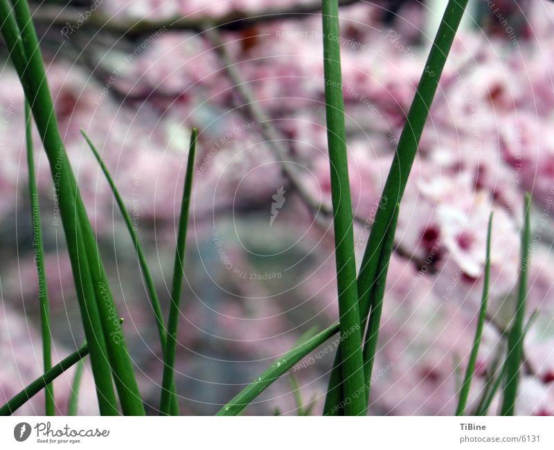 Schnittlauch vor japanischer Kirschblüte Zierkirsche Kirschblüten Kräuter & Gewürze Makroaufnahme grün Detailaufnahme Natur