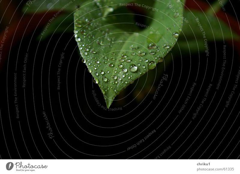 Funkie im Regen Natur grün Pflanze Blatt schwarz Wolken Regen Wassertropfen nass Seil Erde Wachstum Balkon schlechtes Wetter Topfpflanze Reifezeit