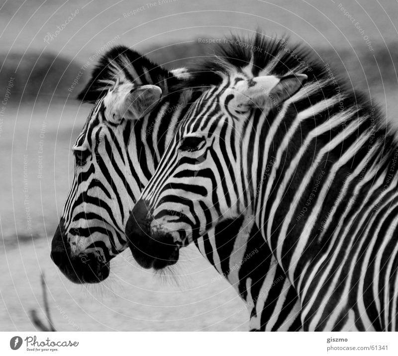 Zebras Tierpaar paarweise Zebra